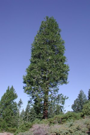 incense cedar trees