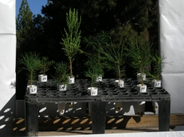 Item M2: 10 SPECIES SIERRA NEVADA NATIVE CONIFER SAMPLER