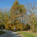 Maryland Dawn Redwood with fall foliage