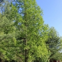 Thanks to Bruce Hicks for sending us these images of a Dawn Redwood in Elizabethton, Tennessee. He is not sure when the tree was planted but approximates the height to be 35 to 40 feet or slightly taller.