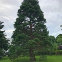 Martinsburg, Pennsylvania giant sequoia