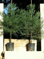 Item B1: 2 GIANT SEQUOIA TREES