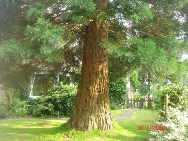 analysis of planting a sequoia Extracts from this document introduction planting a sequoia planting a sequoia is a poem that was published in the gods of winter in 1990 it was written by american poet dana gioia.