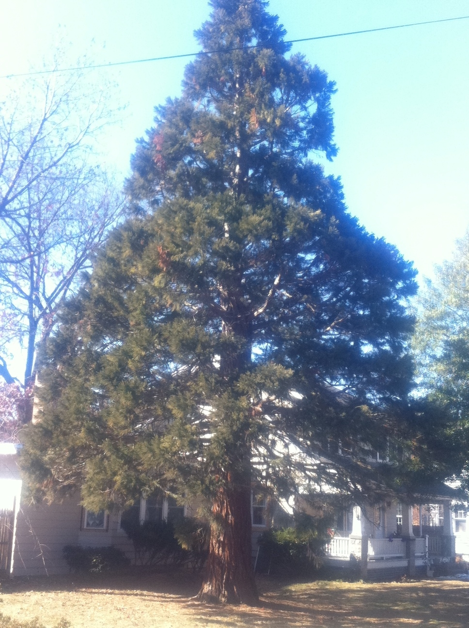 Broomall giant sequoia which has been pruned around the town power