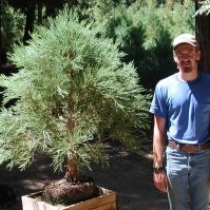 Kris Welker shows an XL dish giant sequoia bonsai. This bonsai has never been topped. It is a natural dwarf.