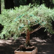 This giant sequoia bonsai is in training. The top will be narrowed gradually over the years.