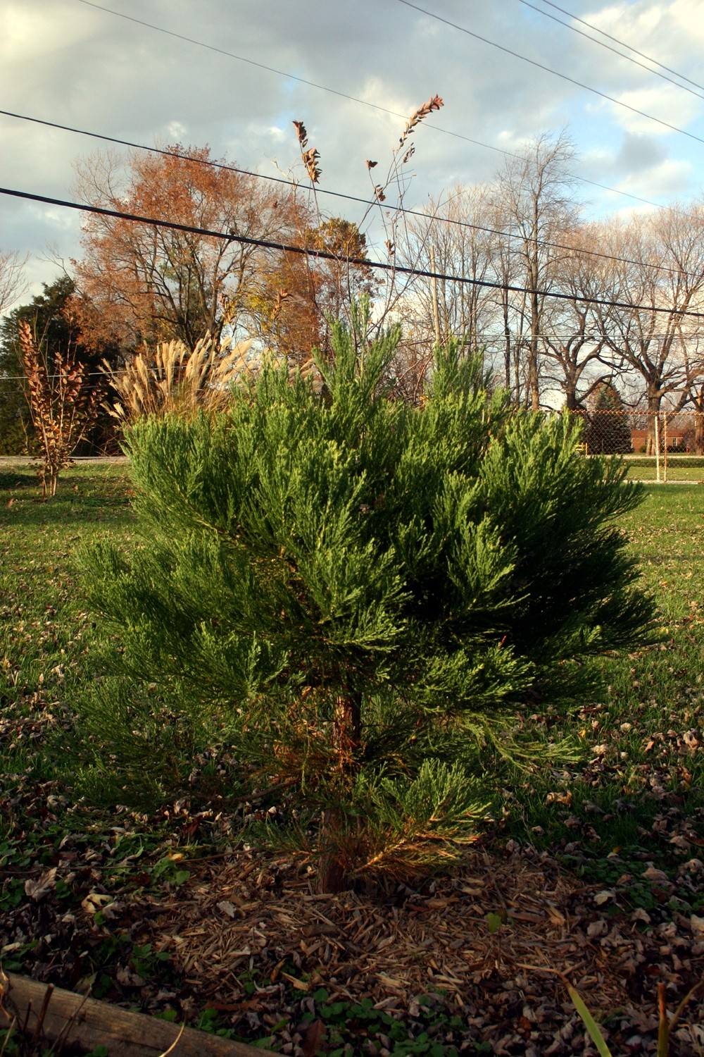 Les From Danville On The Eastern Edge Of State Sent Us This Picture His Healthy Tree Purchased A Years Ago Nursery