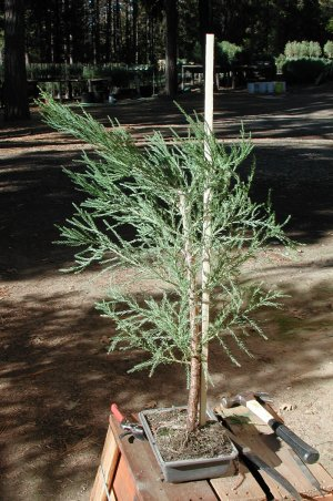 Pruning Giant Sequoia Nursery