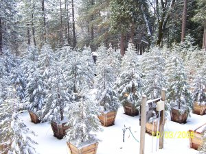 Landscape trees in 24 inch box containers.